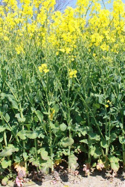 winter-crops4